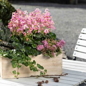 Dancing Pixies in hellrosa als Tischdekoration in einem hellen Holzkasten auf der Terrasse